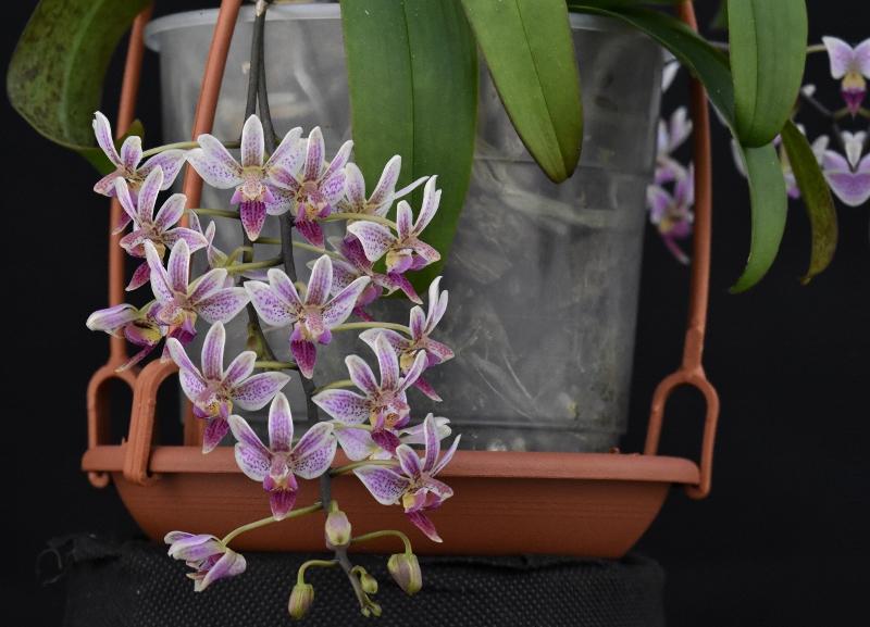 Phalaenopsis equestris x finleyi (Donna's Delight ) - Seite 6 Phala177