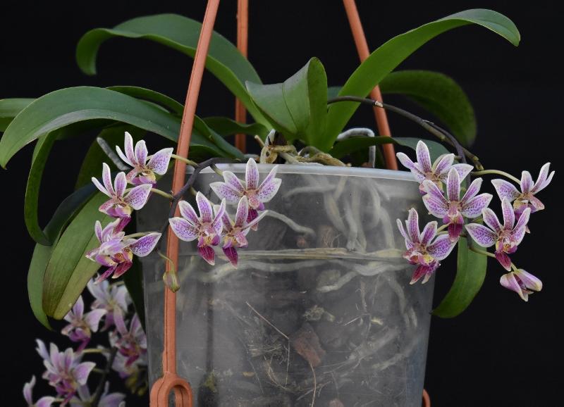 Phalaenopsis equestris x finleyi (Donna's Delight ) - Seite 6 Phala178