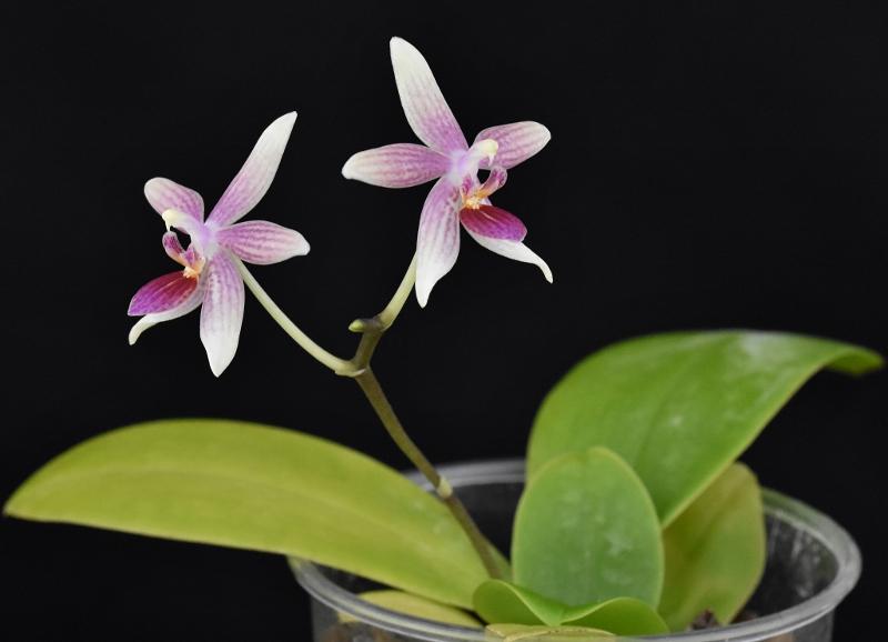 Phalaenopsis cochlearis x equestris (Anthony The) Phala191