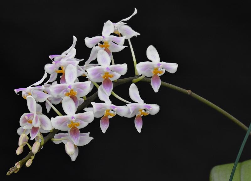 Phalaenopsis celebensis x equestris (Silbergrube) Phala195