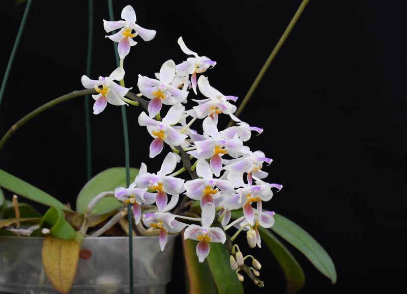 Phalaenopsis celebensis x equestris (Silbergrube) Phala196