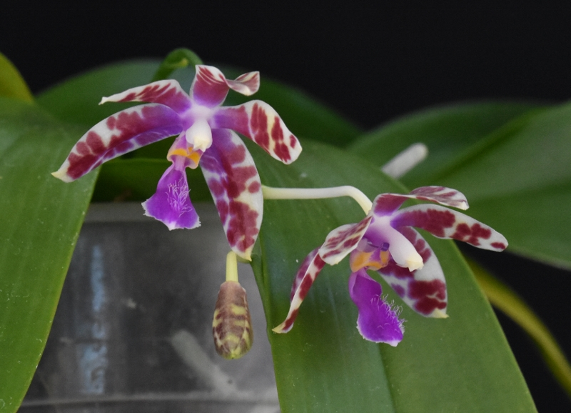 Phalaenopsis mariae x pulchra (Alamp) Phala205