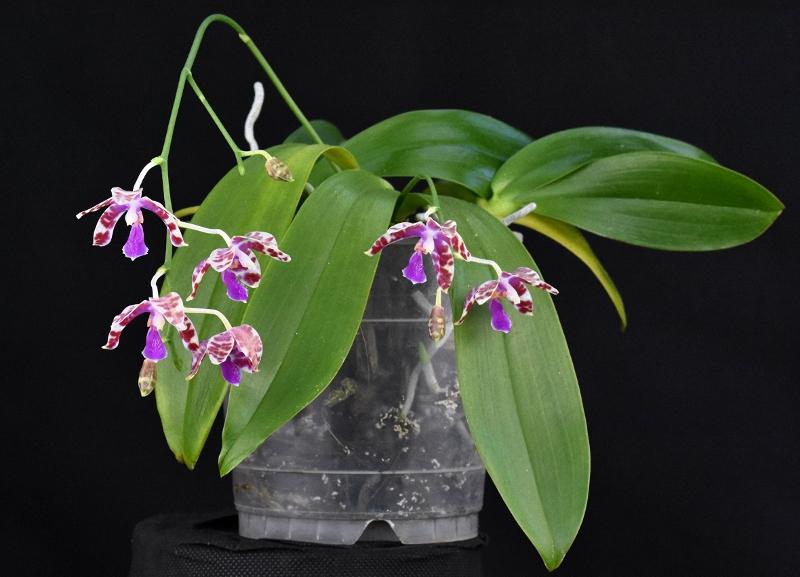 Phalaenopsis mariae x pulchra (Alamp) Phala206