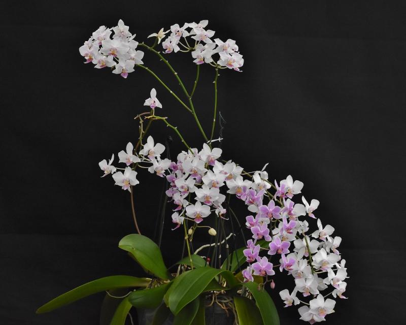 Phalaenopsis sanderiana x equestris (Hebe) Phala207