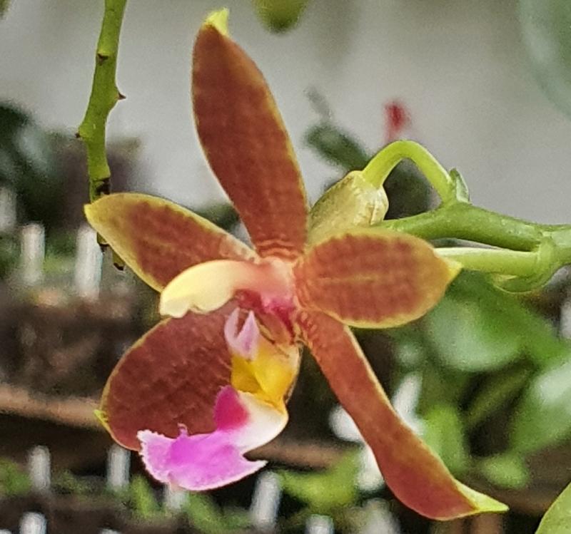 Phalaenopsis mannii x fimbriata (Mambriata)  Phala223