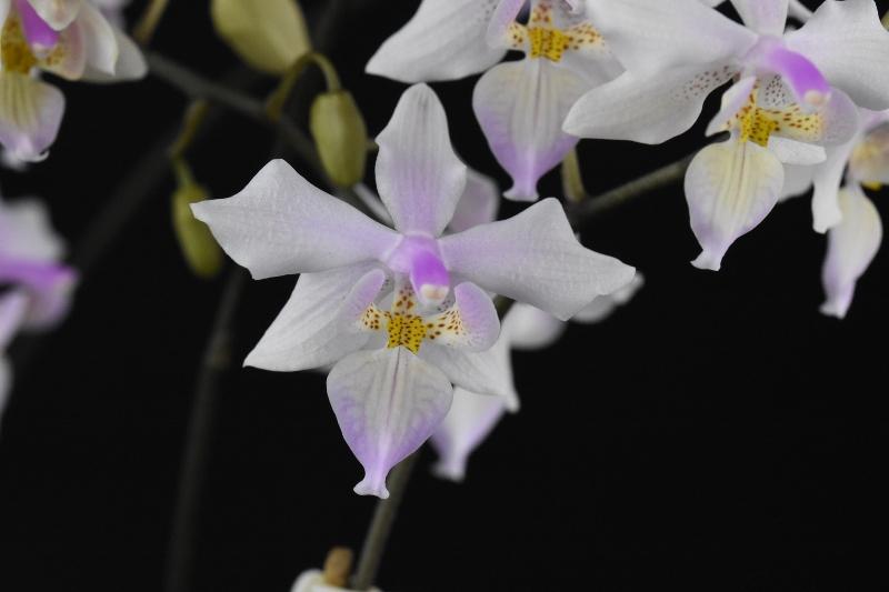 Phalaenopsis schilleriana x lindenii (Phalaenopsis Baguio) Phalae39