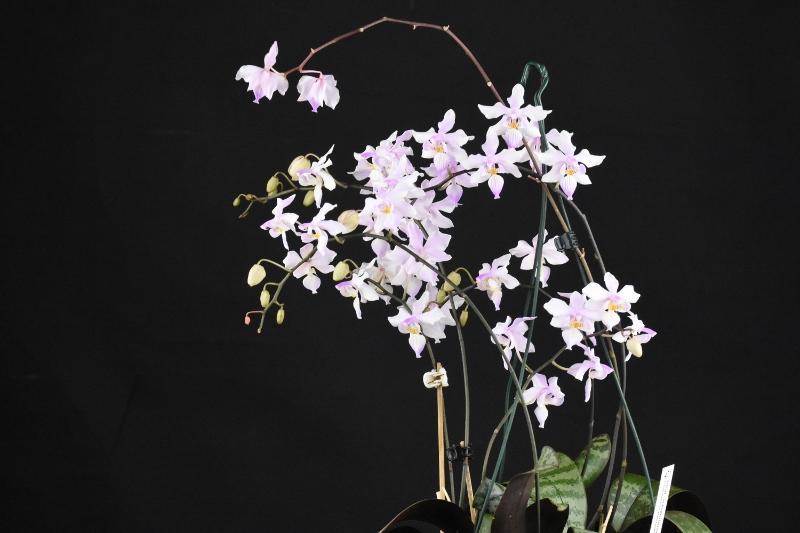 Phalaenopsis schilleriana x lindenii (Phalaenopsis Baguio) Phalae40