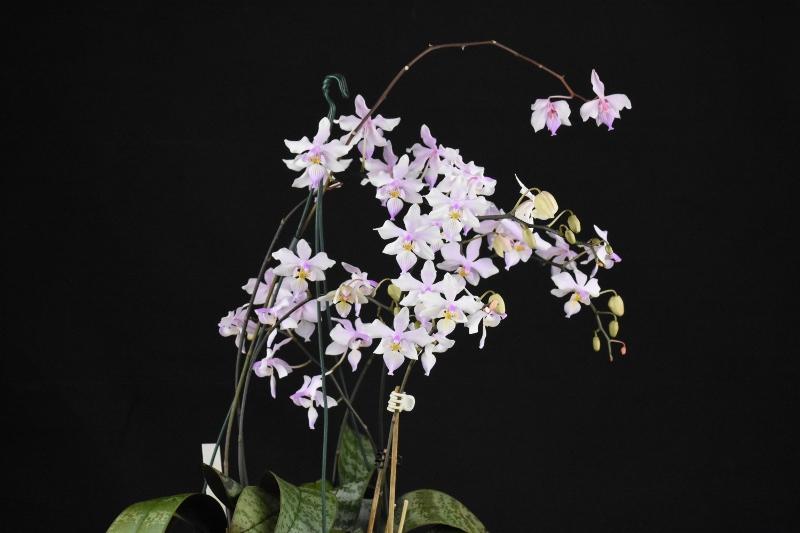 Phalaenopsis schilleriana x lindenii (Phalaenopsis Baguio) Phalae42
