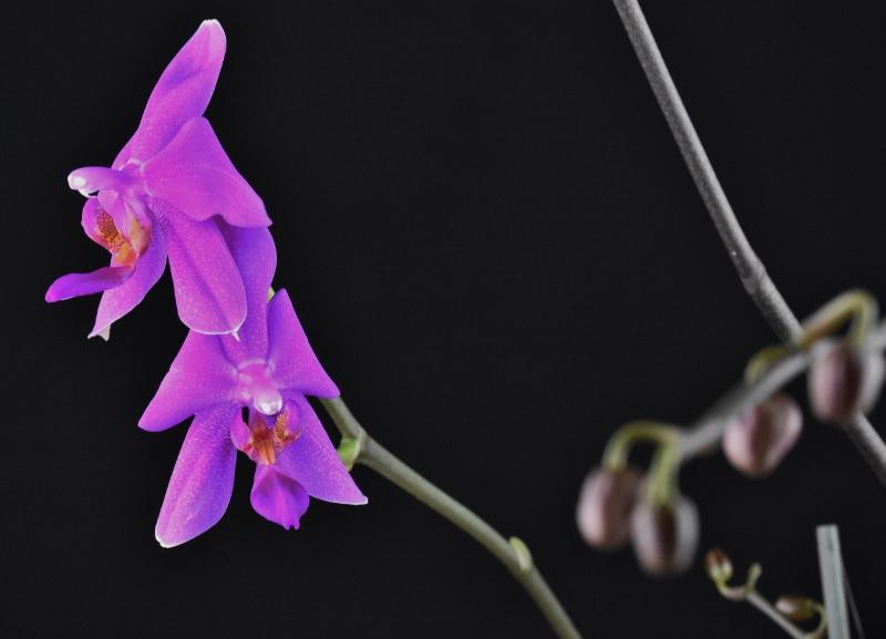 Phalaenopsis schilleriana x violacea (Lanny) Phalae49