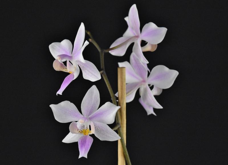 Phalaenopsis equestris x philippinensis (Carolina Tiny Phil) Phalae60