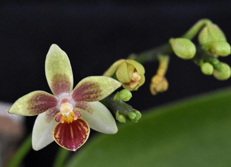 Phalaenopsis cochlearis x equestris (Anthony The) Phalae78