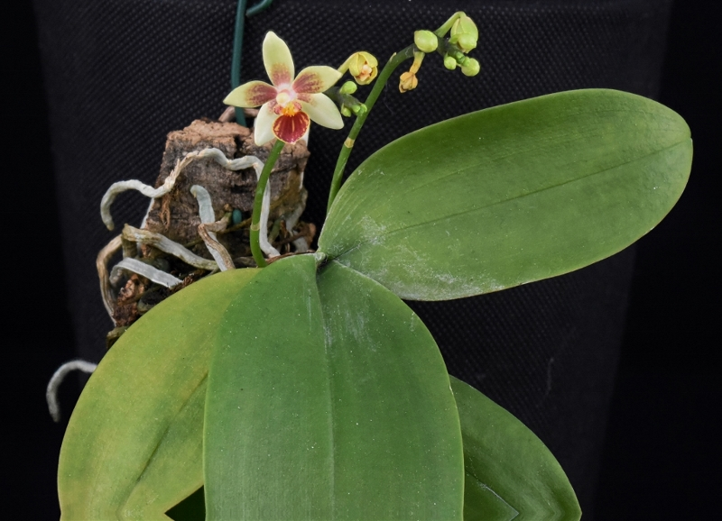 Phalaenopsis cochlearis x equestris (Anthony The) Phalae79