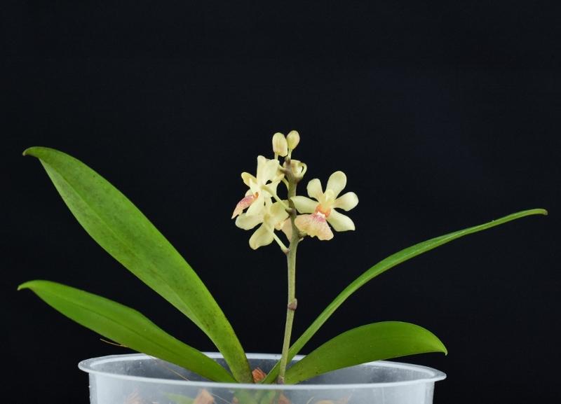 Phalaenopsis chibae x equestris (Equichi) Phalae81