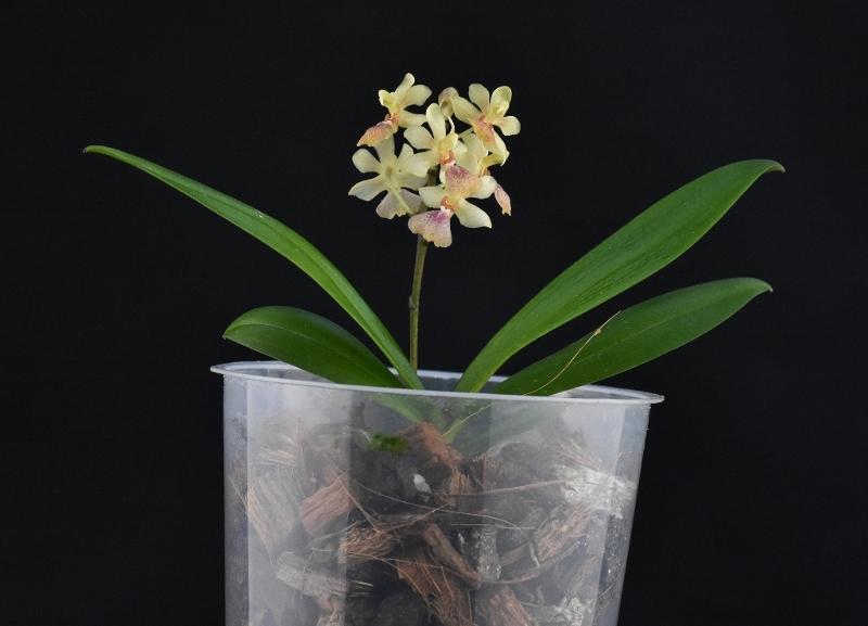 Phalaenopsis chibae x equestris (Equichi) Phalae85