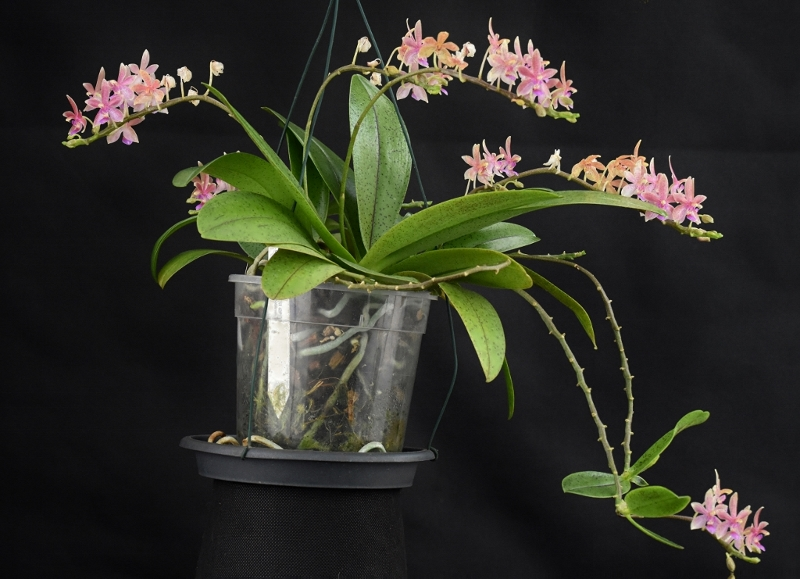 Phalaenopsis cornu-cervi x equestris 'rosea' (Cornustris) Phalae87