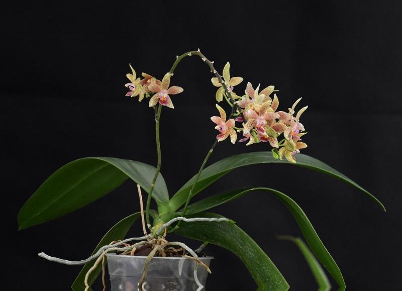 Phalaenopsis equestris x kunstleri (Musick Mini Dots) Phalae89