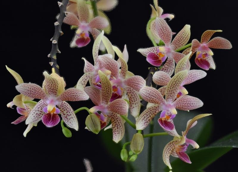 Phalaenopsis equestris x kunstleri (Musick Mini Dots) Phalae90