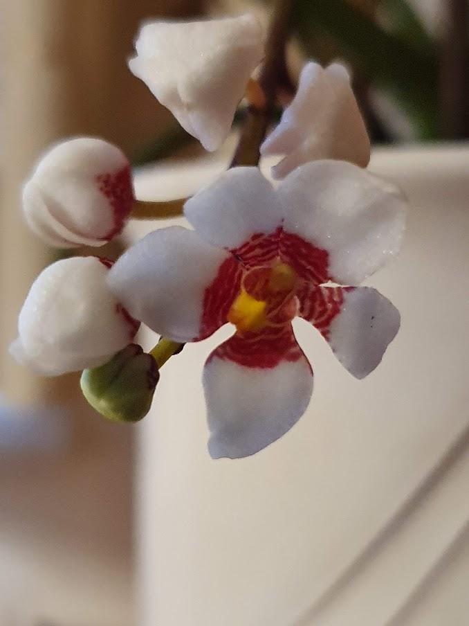 Orchideen-Neuzugang 2 - Seite 28 20200313