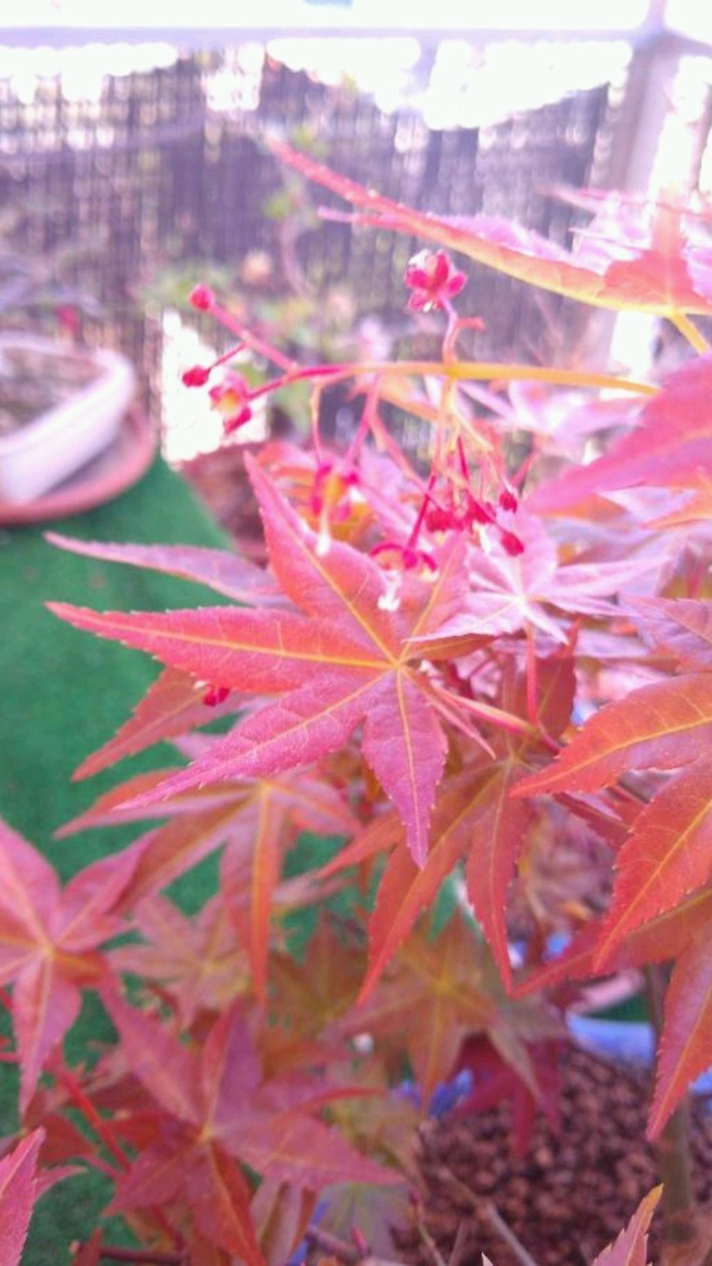 variedad arce palmatum 0b02d511