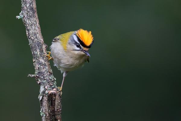 Fórum Aves - Birdwatching em Portugal - Portal Img_1014