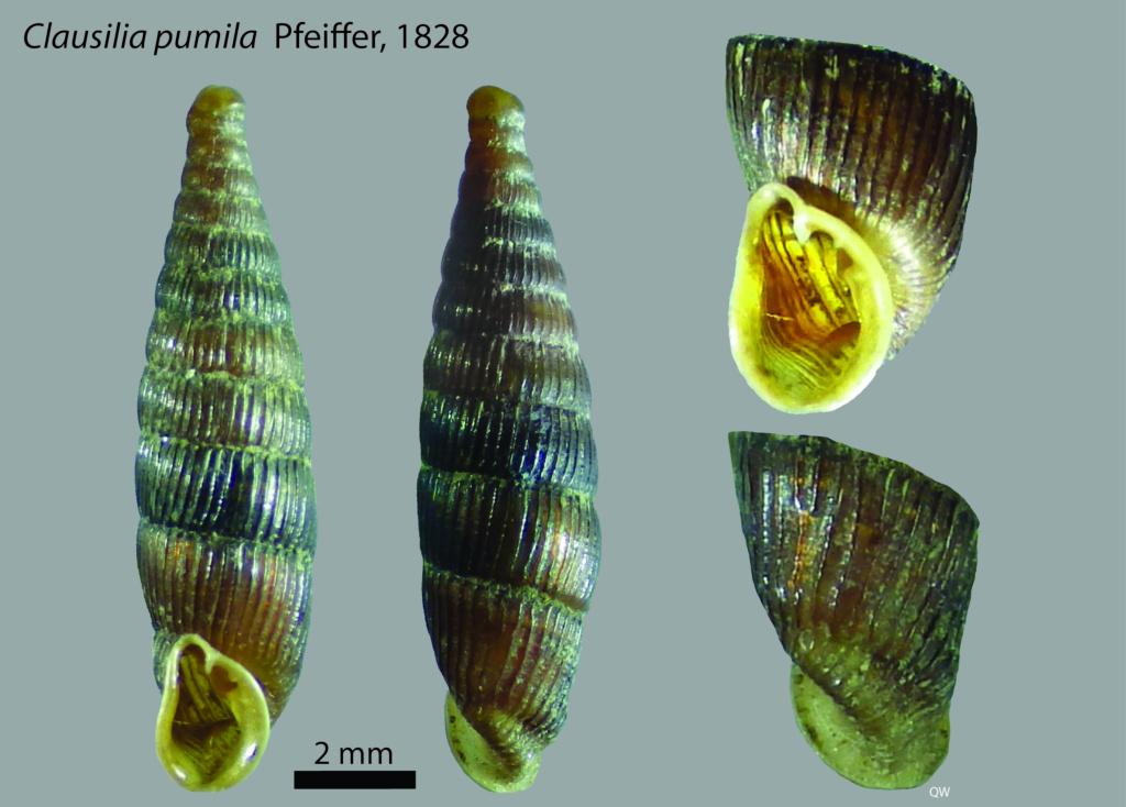 Clausilia pumila Pfeiffer, 1828  Planch10