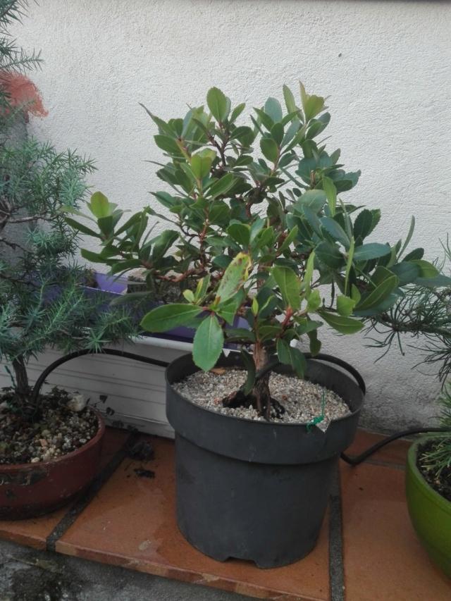 Madroño. Próximo transplante a maceta de bonsai. Img-2010