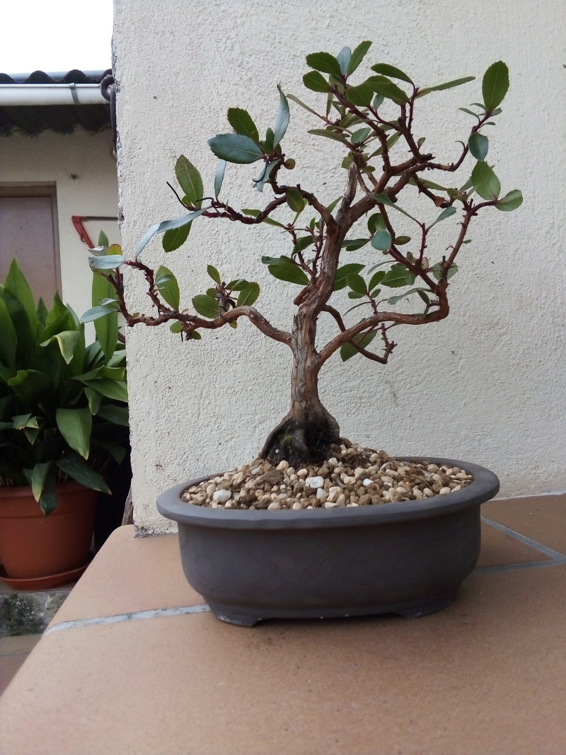 Madroño. Próximo transplante a maceta de bonsai. Img_2012
