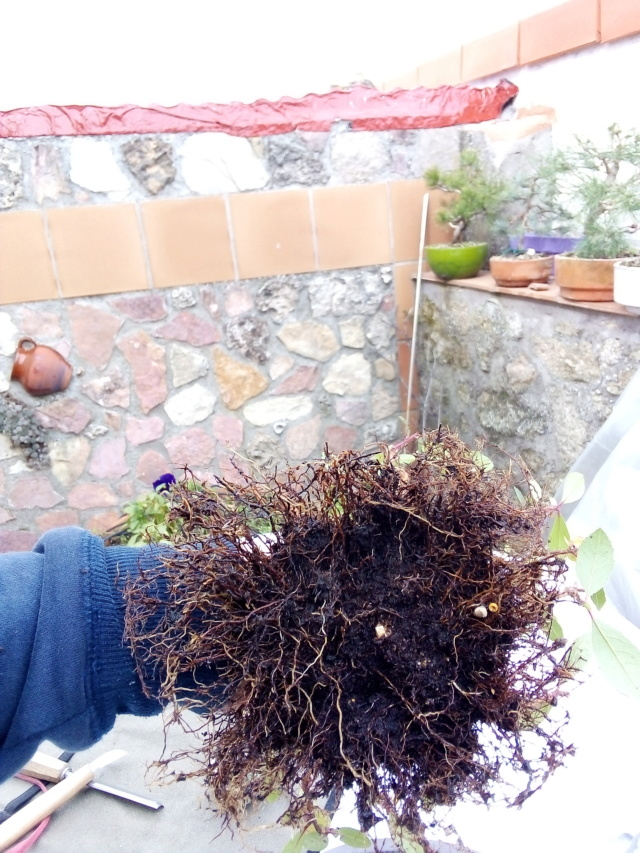 Madroño. Próximo transplante a maceta de bonsai. Img_2013
