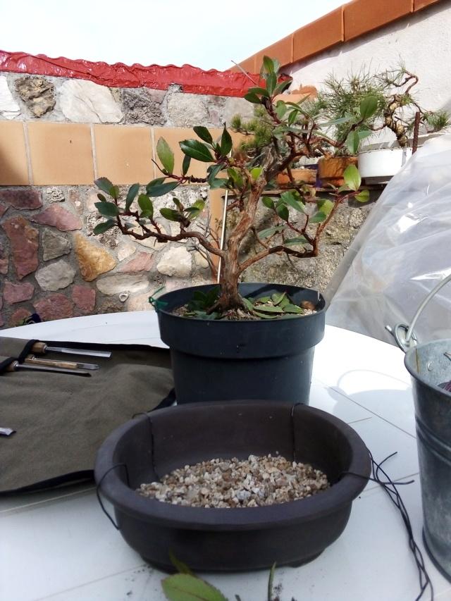 Madroño. Próximo transplante a maceta de bonsai. Img_2014