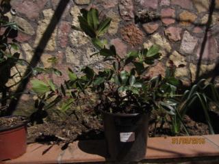 Madroño. Próximo transplante a maceta de bonsai. Madroz12