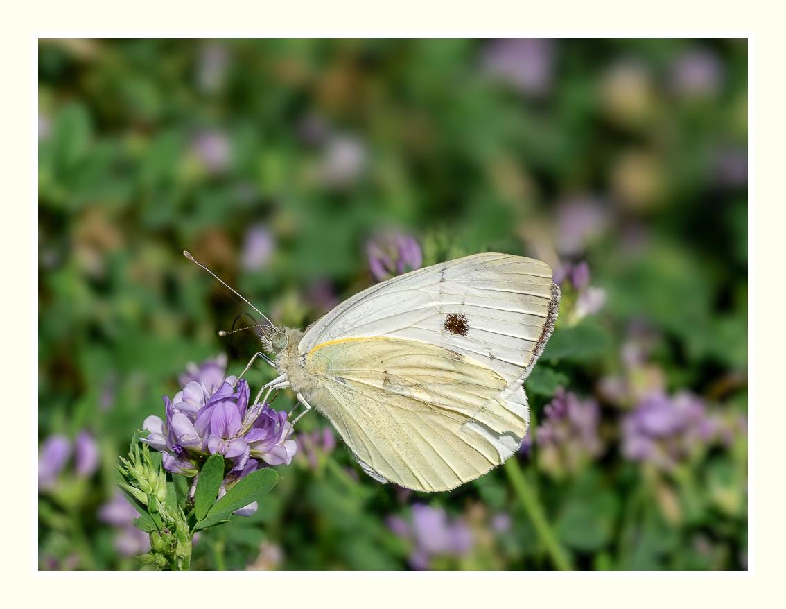 A la chasse aux papillons P1020211