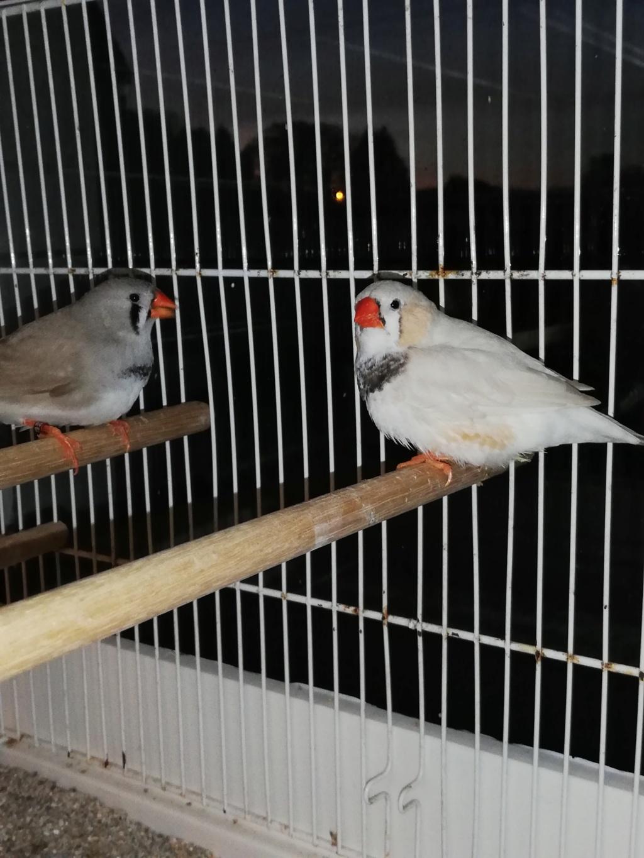 Besoin d'avis mâle masqué nouveau type poitrine noire (Mnt pn) Img_2011
