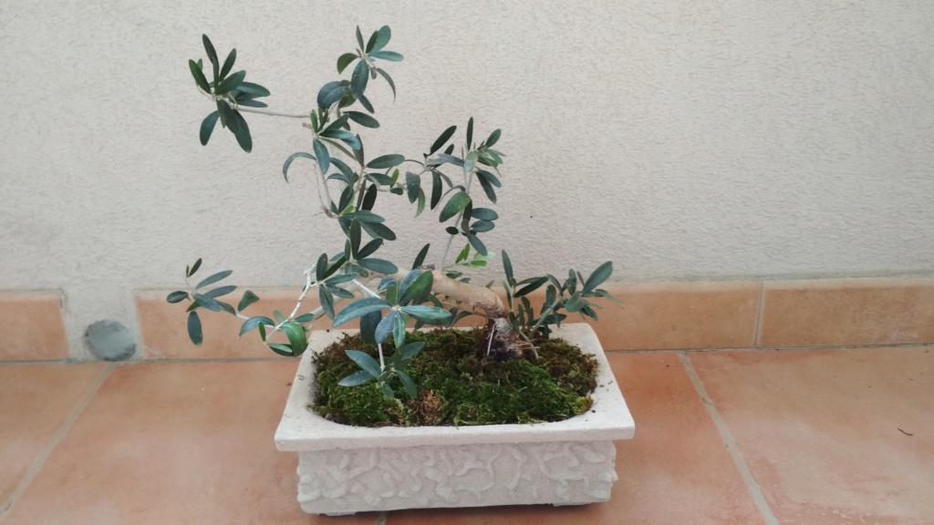 Bonsai di olivo consigli  Img_2024