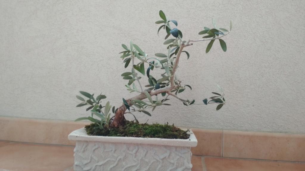 Bonsai di olivo consigli  Img_2025