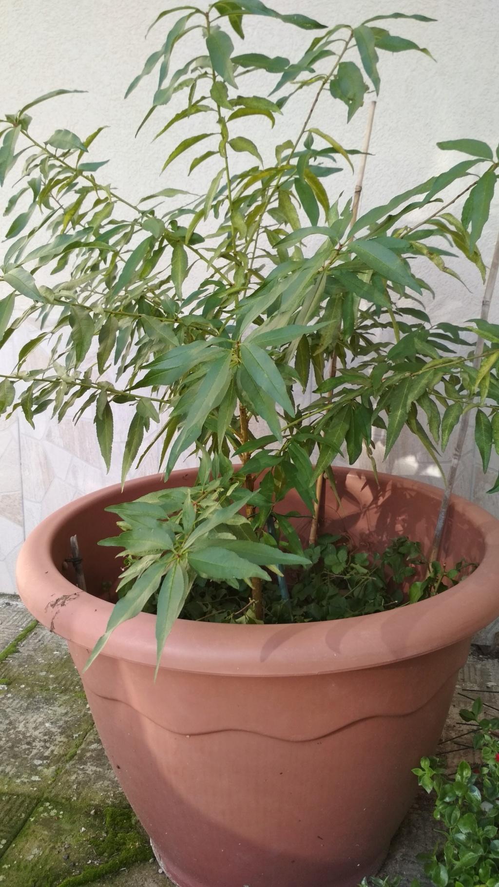 Mandorlo da trasformare in bonsai  Img_2035