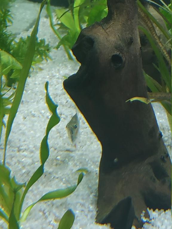 Identification piranha juvénile  Img_2011