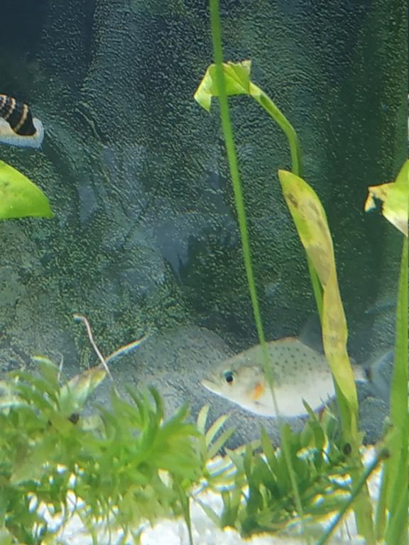 Identification piranha juvénile  Img_2015