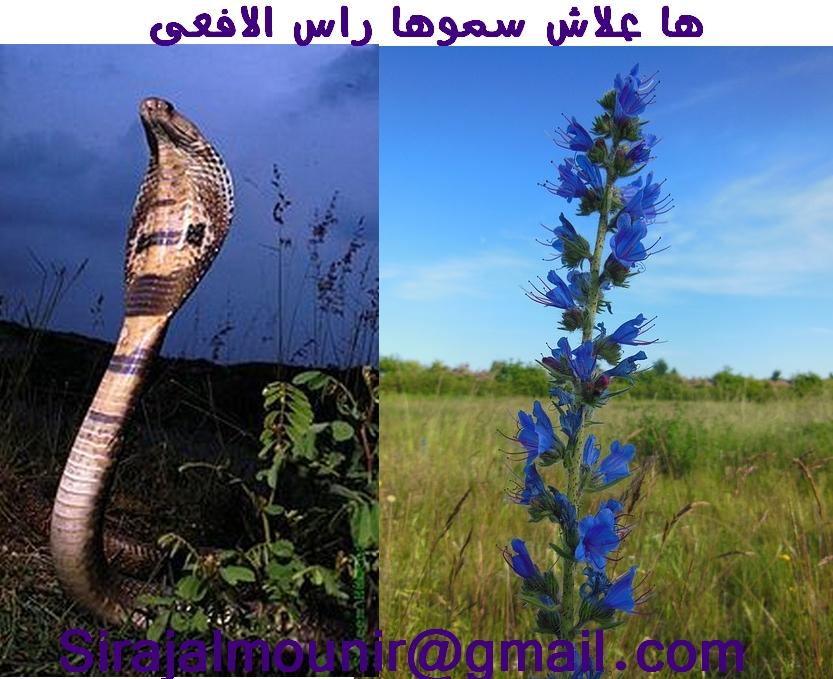 من يعرف عشبة رأس الحنش Untitl10