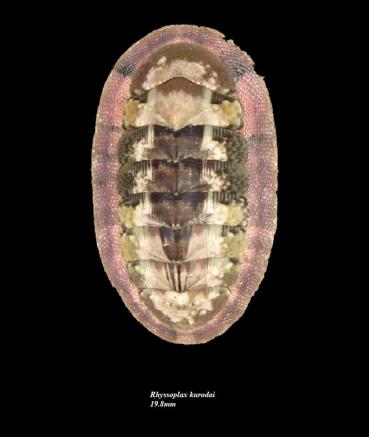 Chiton crawfordi - Sykes, 1899 & 2 autres spécimens Rhysso10