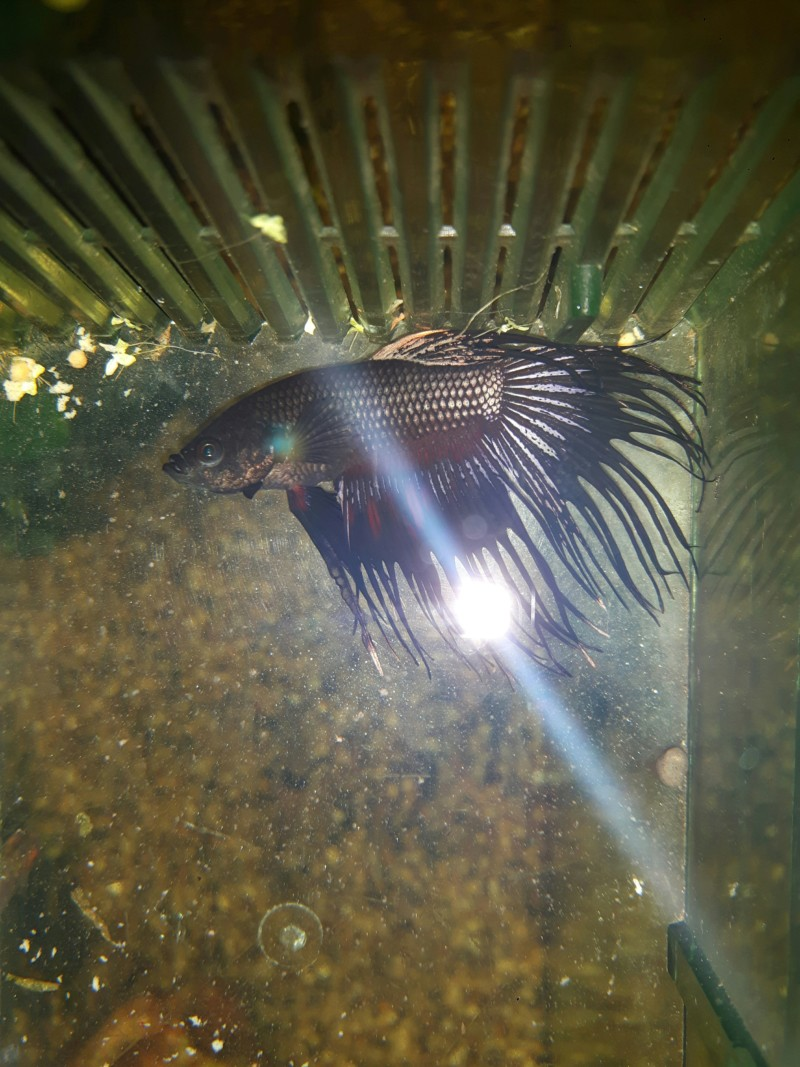 Maladie Betta Splendens 20190311