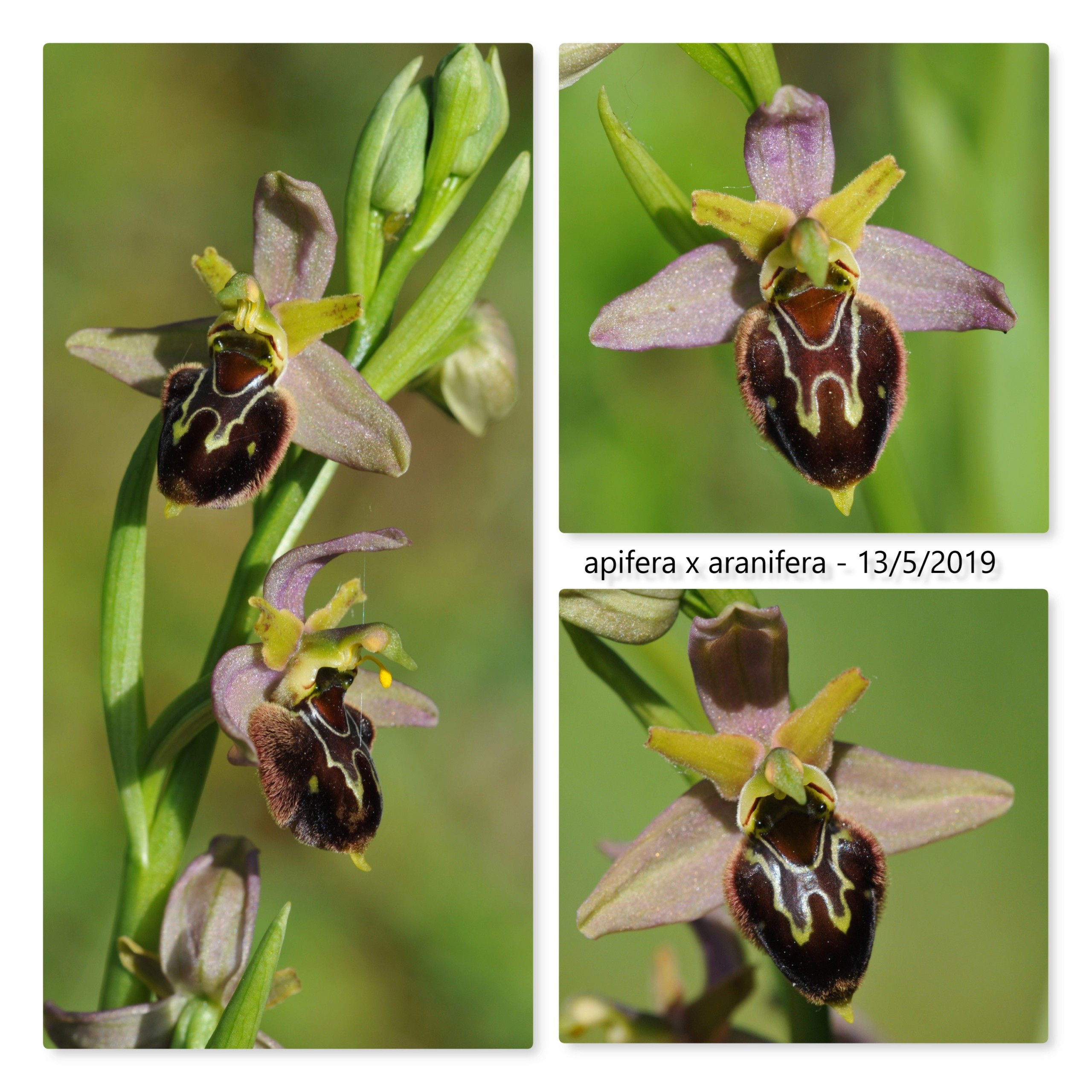 Ophrys apifera x aranifera Apif_x10
