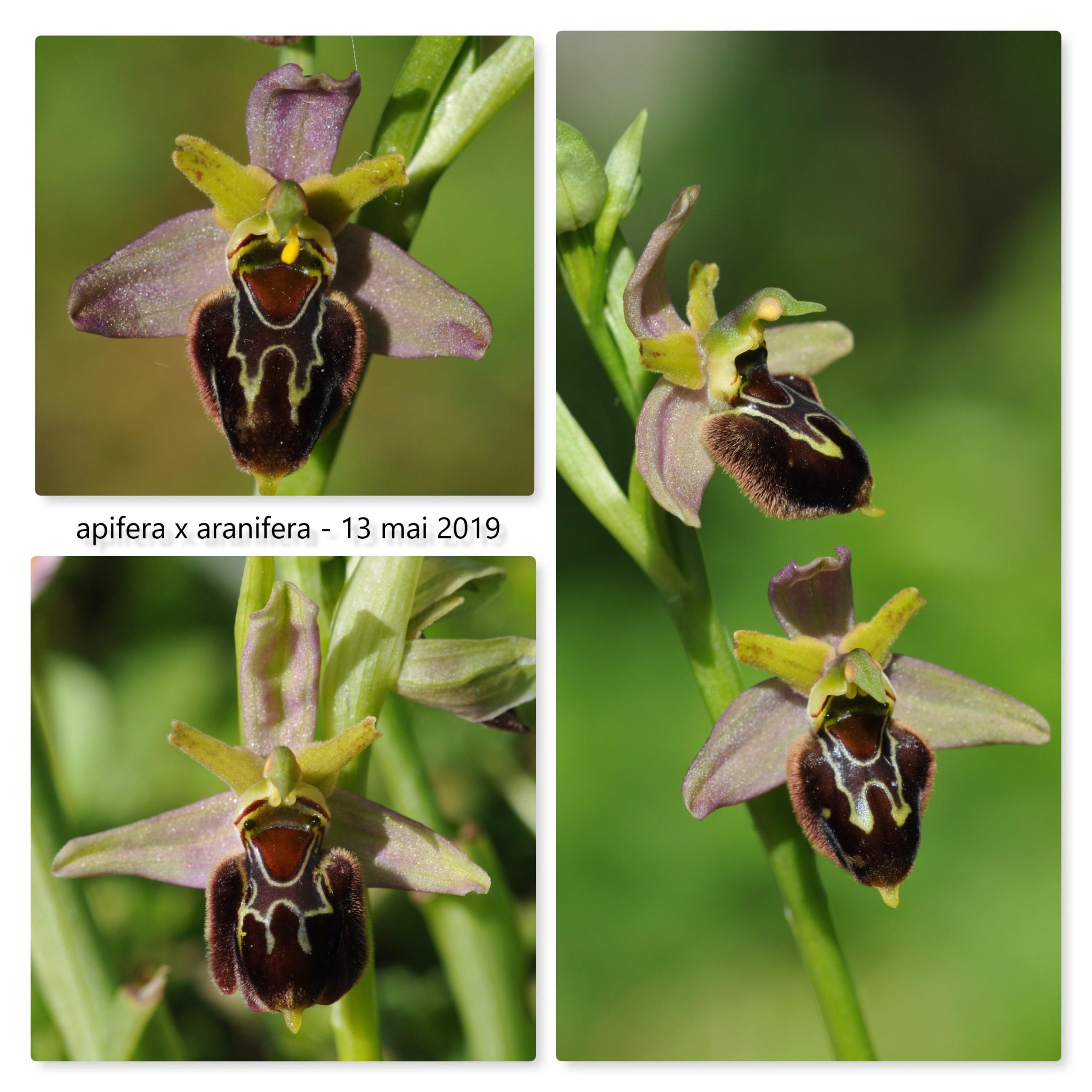 Ophrys apifera x aranifera Apif_x11