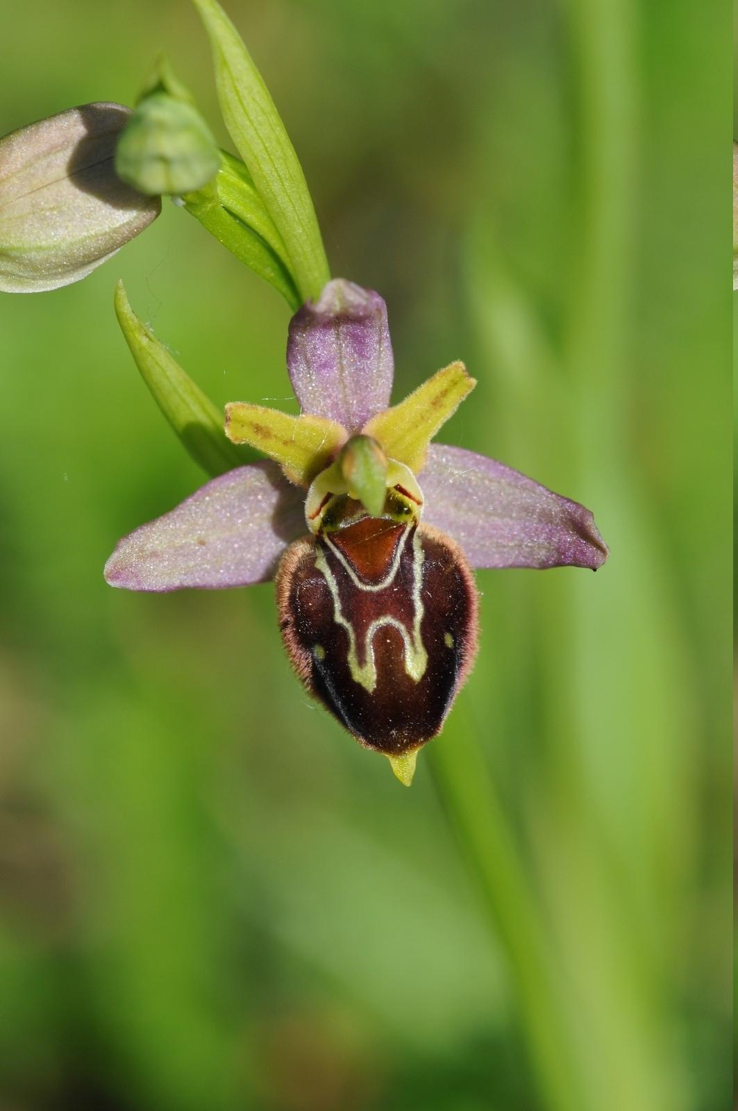 Ophrys apifera x aranifera Hyb_212