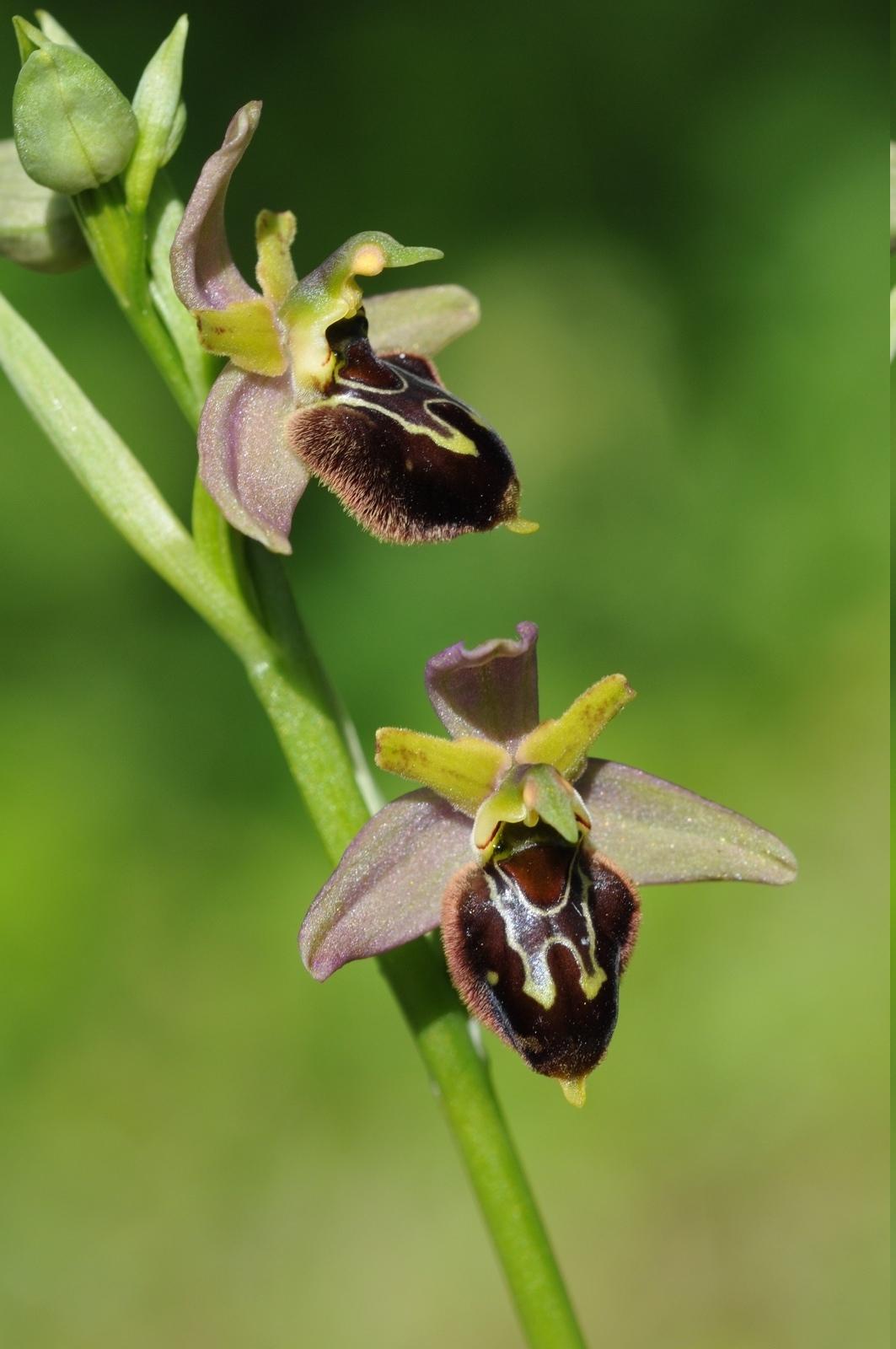 Ophrys apifera x aranifera Hyb_312