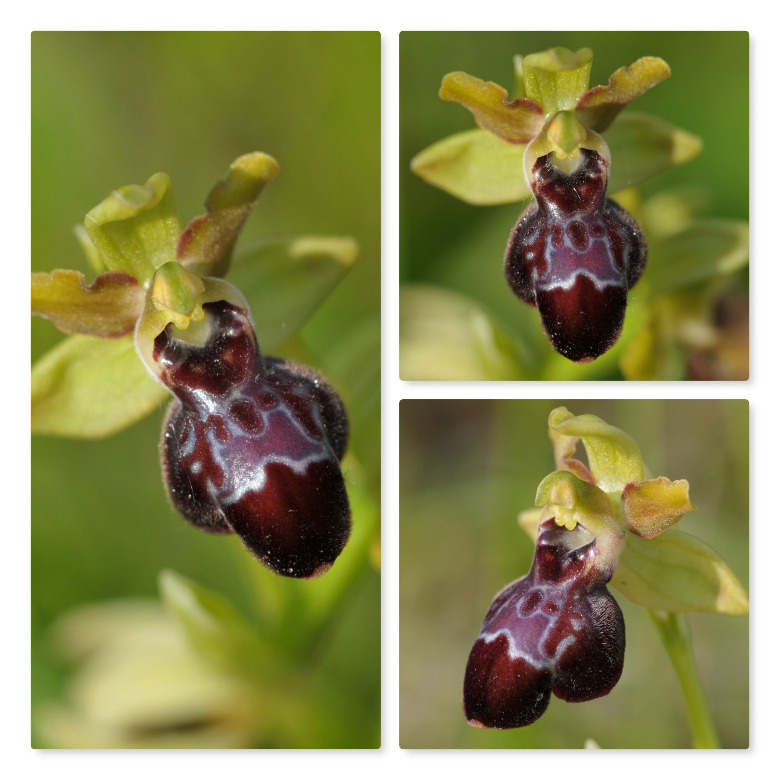 Ophrys passionis x sulcata Sulcat11