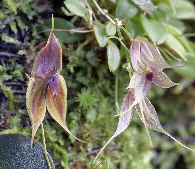 Miniatur-Orchideen Teil 6 - Seite 4 105010