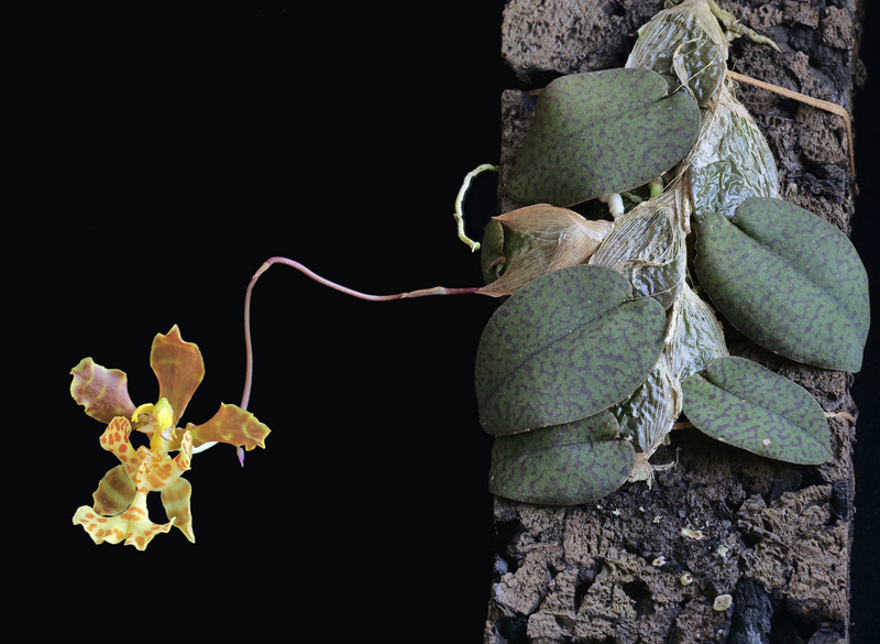 Miniatur-Orchideen Teil 5 - Seite 40 2020-037