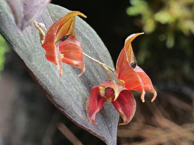 Miniatur-Orchideen Teil 5 - Seite 40 2020-039