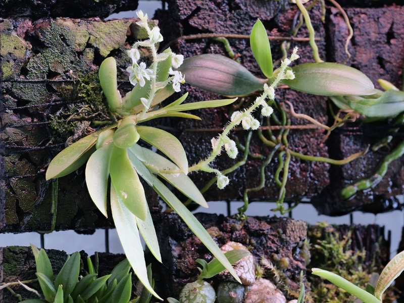 Miniatur-Orchideen Teil 5 - Seite 42 2020-046