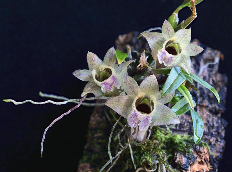 Dendrobium hekouense - Seite 2 2020-050